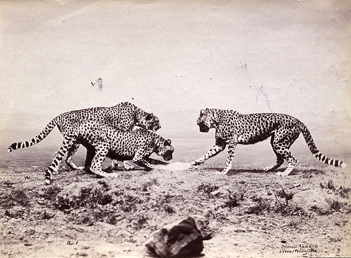 Study of Cheetahs in the Wild