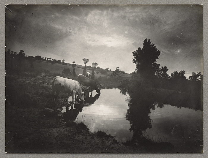 Cows by a Pond, Plain of Forez